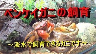 ベンケイガニの飼育~淡水で飼育できるカニです~
