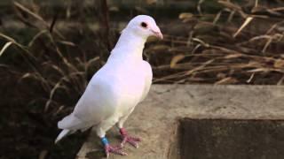 Je suis un vieux pigeon blanc