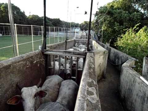 abate bovino frigorifico abatedouro de bovinos