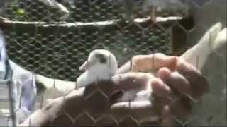 Roller Pigeons ZLS Video 3