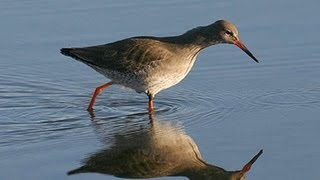 BTO Bird ID - Common Shanks