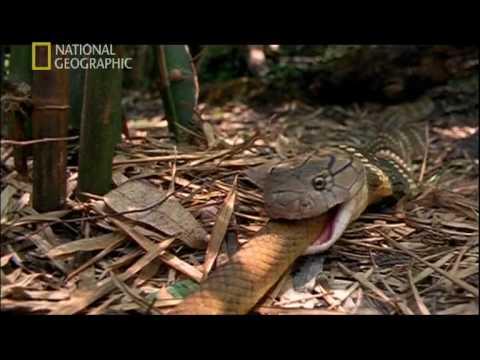Zehirli nörotoksik kimyasal içeren Kral Kobra Yılanı