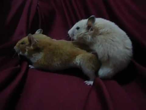 Xxx Mp4 Hamster Acasalando 3gp Sex