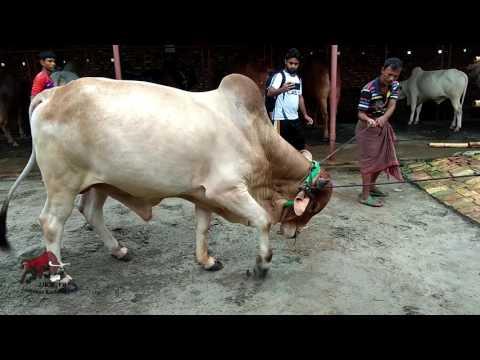 Xxx Mp4 Mad Bull Of Shamaira Agro Keranigonj Dhaka Getting Ready For 2017 Kurbani Eid 3gp Sex