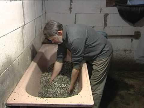 Выращивание вешенки в домашних условиях в подвале - Russkij-Litra.ru