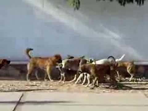 perros en brama