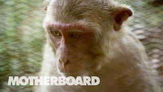 Studying Monkeys to See What Makes Humans Special