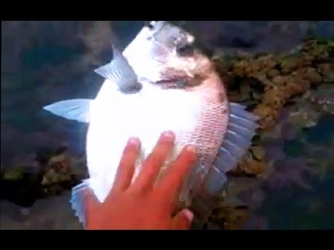 Raysse Chafik pêche en Skhirat Maroc daurade royale de 2 200 kg