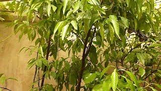 طريقة زراعة اشجار الحمضبات بانواعها بالبيت How to Grow a Lemon Tree from Seed