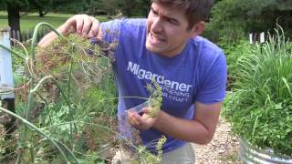 Never Buy Dill Seed Again! Plant it & Save the Seed