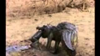 Crocodile hunt the birds & Monkey. A amazing video.Skill of hunting.