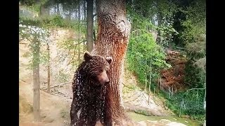 Bear Tried To Escape His Enclosure So They Shot Him  What They'll Do To Him Now OMG