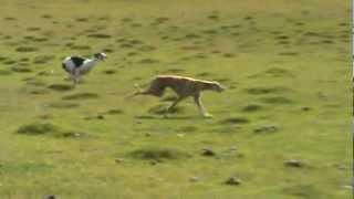 caçada de lebras com galgos rs aguas claras