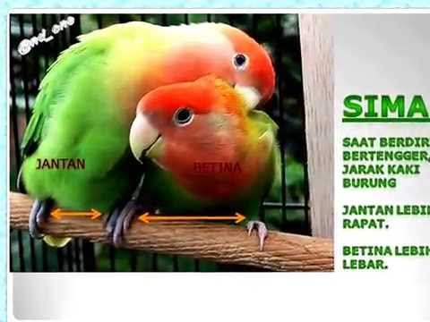 mengetahui perbedaan lovebird jantan dan betina