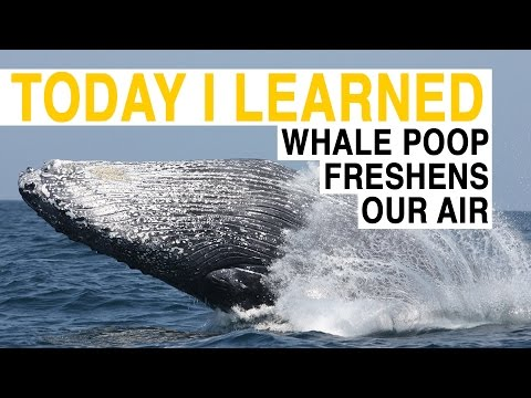 watch TIL: Whale Poop Freshens Our Air | Today I Learned
