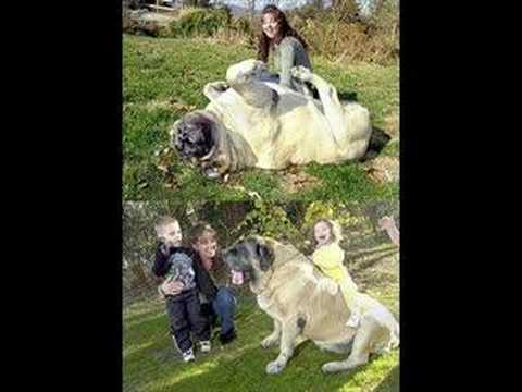 KOCAMAN köpekler