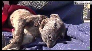 Sad video of dog sick neglected pit bull gets abandoned on bridge left to die . WARNING SAD