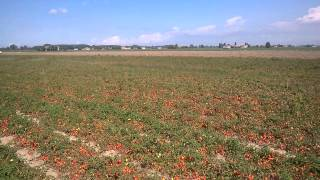 Harvesting tomatoes in Parma