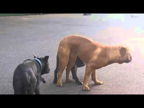Animals Mating Top 10 Dog Mating & Funny Dog Funny Animal Compilation 2015