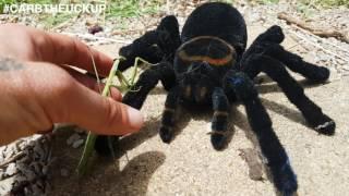 Praying Mantis VS Tarantula