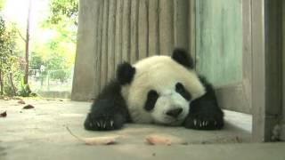 Panda cub's sleeping face