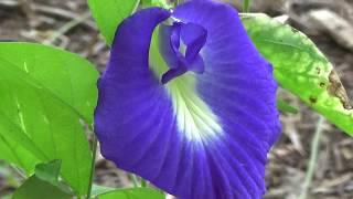 Gokarn flower,Clitoria ternatea, Shankhpushpi, bluebellvine, blue pea, butterfly pea, cordofan pea