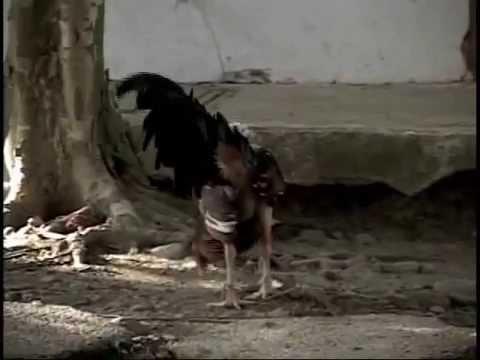 El Gallo fino cubano