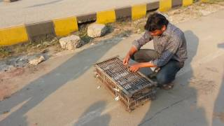 Tournament of dhanmondi pigeon clab.