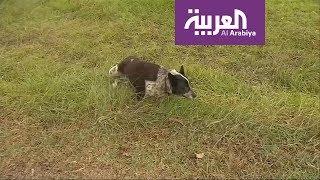 كلب أعمى ينقذ طفلة