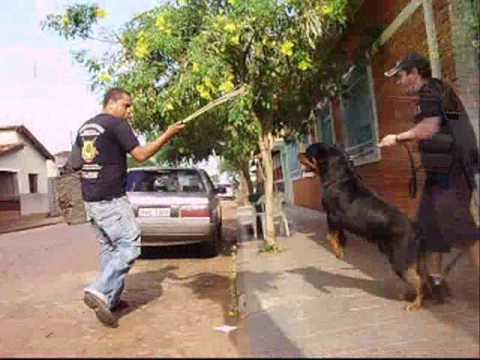 rottweiler Stifler fazendo guarda