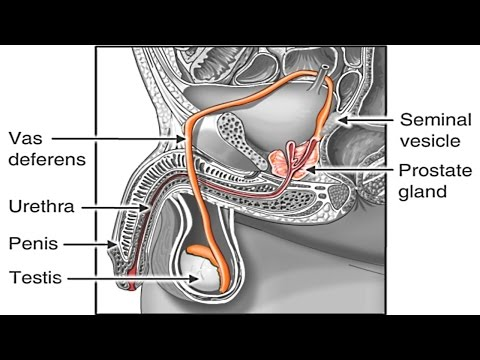 How Sperm Travels through Male Reproductive System Animation - Sperm Release Pathway -Function Video