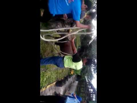 Cara Mudah tumbangkan sapi qurban