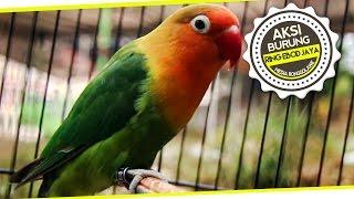 SUARA BURUNG : Anakan 7 Bulan Lovebird Ring EBOD JAYA 835 Ngekek Durasi Panjang
