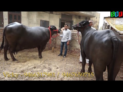 Xxx Mp4 Super Murrah Mother And Son Superb Milk Line Very Beautiful Superb Height And Length 3gp Sex