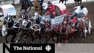Calgary Stampede's chuckwagon auction considered an Alberta bellwether