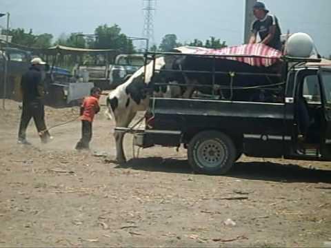 Manejo inadecuado del ganado bovino