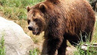 В селата Мечкул, Сенокос и Ракитна върлува страшна мечка стръвница