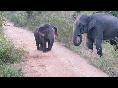 DWARF ELEPHANT SEEN FOR FIRST TIME
