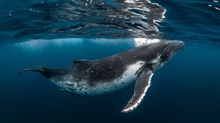 TONGA - Swimming with Whales Underwater