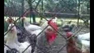 Kury z PodwUrka