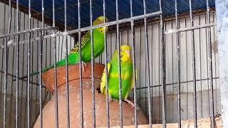 Australian Parrots Complete Breeding Tips