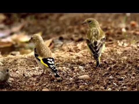 Jilguero. European Goldfinch. Carduelis carduelis