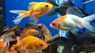 Oranda and goldfish