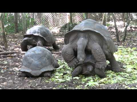 Tortoise Sex - Prison Island, Zanzibar, Tanzania