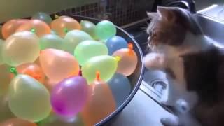 مقاطع مضحكه للقطط