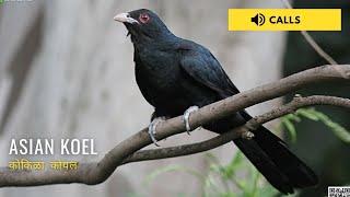 Asian Koel Singing