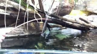 Archer Fish squirting water at a cricket