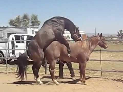 cavalo safado