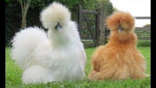 5 أنواع من الدجاج لن تصدق أنها موجودة!