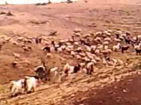 kangal koyun sürüsü